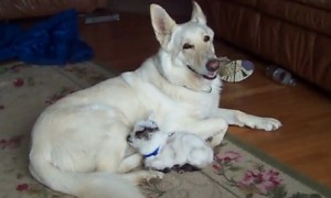 Caring German Shepherd Looks After Tiny Baby Goat