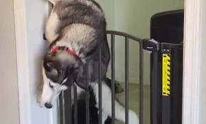 Husky Makes Escape