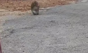 Baboon Strutting Down the Street