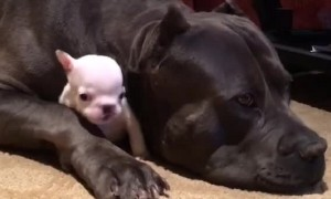 Big Dog Cuddles Tiny Puppy And It's The Cutest Sight
