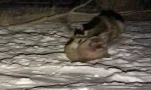 8-Point Buck Faces Off Against Mountain Lion