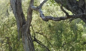 Leopard Playing in the Trees