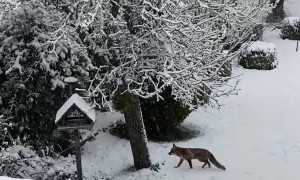 Cats are Fascinated by Fox Playing in Snow