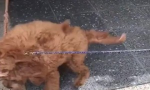 Puppy on a leash literally can't contain excitement for friend