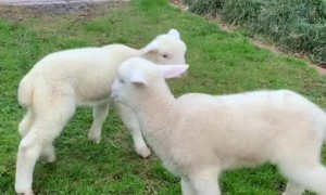 Tiny Lambs Jump Around And It's The Cutest Sight