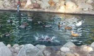 Ducks Take Duel from Land to Pond