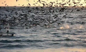 Seabird Feeding Frenzy