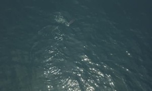 Drone Footage of Sunfish Being Chased by Smaller Fish