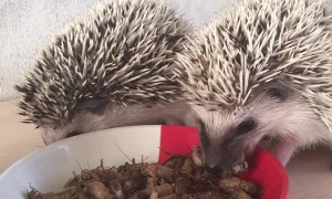Little Hedgehogs Snacking on Bugs
