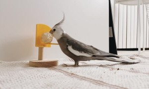 White-Faced Cockatiel Plays Basketball