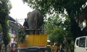 Tuckered Elephant Goes For A Ride