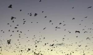 Swarm of Bats Flying to Fraser Island