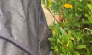 Cat in Stroller Playing with Bushes Regardless of Rain
