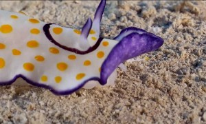 Colorful Sea Slug Filmed Up Close