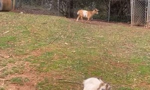 Pet Goat Rolls Over and Plays Dead