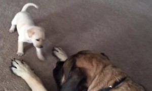 Giant English Mastiff gently plays with fearless tiny puppy