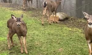 Friendly Neighborhood Deer Love to Loiter