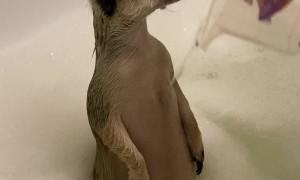 Meerkat Enjoying a Bath