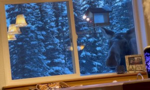 Momma Moose Comes Back for Bird Feeder