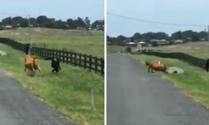 Firefighter gets chased by stray cow