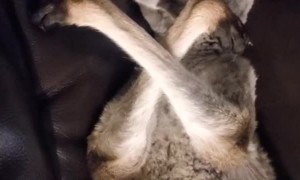 Kangaroo Naps on Couch