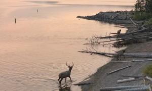 Elk Swim across Lake in Yellowstone