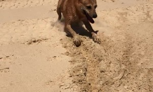 Doggy Drags Ball Along the Beach