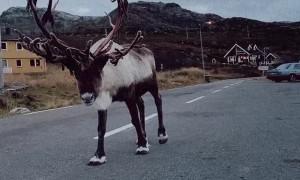 Reindeer Boop