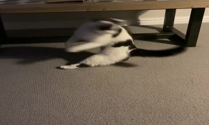 Determined Cat Chases Her Tail
