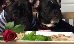 French Bulldogs Enjoy Adorable Valentine's Day Meal