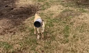 Screaming Goat Has Head Stuck in Container