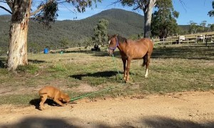 Adorable Puppy Walks Wild Born Brumby Colt