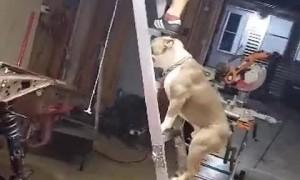 Dog Follows Dad up a Ladder