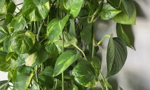 Pet Chameleon Climbs up Golden Pothos