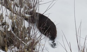 Beaver Takes His Twigs back into River