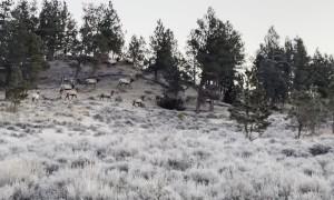 Close up of Montana Bull Elk Herd