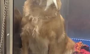 Momma Golden Retriever Showing off Her Puppies