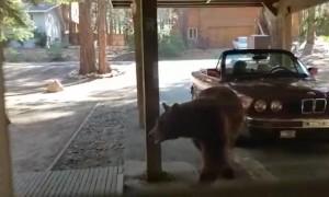 Bear Cubs Rummage Through Fridge