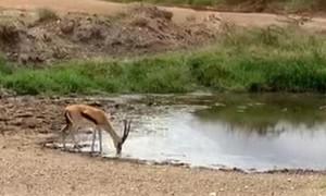 Speeding lion fails to catch gazelle in the Serengeti
