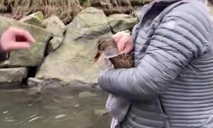 Duck Gets Help From Some Humans