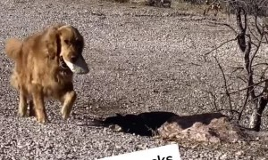Pooch Adds to Her Pile of Rocks