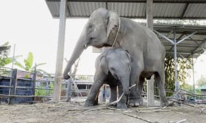 Happy Elephants Groove to a Tune