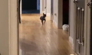 Adorable Chihuahua has the most iconic walk ever