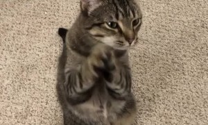 Clever Kitty Begs For Attention