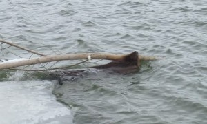 Ice Shelf Collapses under Heavy Beaver and His Branch