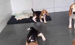 Fearless Beagles are not afraid of the mop