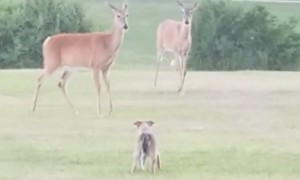Puppy Really Wants To Play With Wild Deer Herd