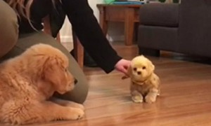 Golden Retriever Puppy Is Totally Jealous Of Toy Dog