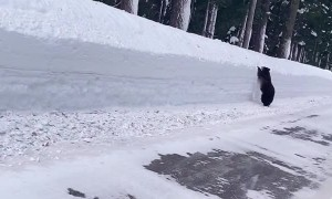 Bear Runs Along Road Looking for an Exit