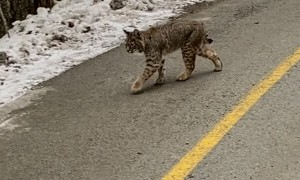 Curious Bobcat Spotted Strolling Along Trail
